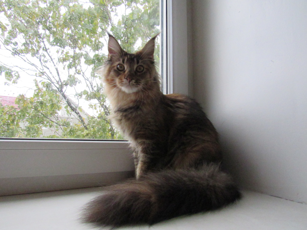 Maine Coon For Sale In The City Of Minsk Belarus Price 300 Announcement 3476