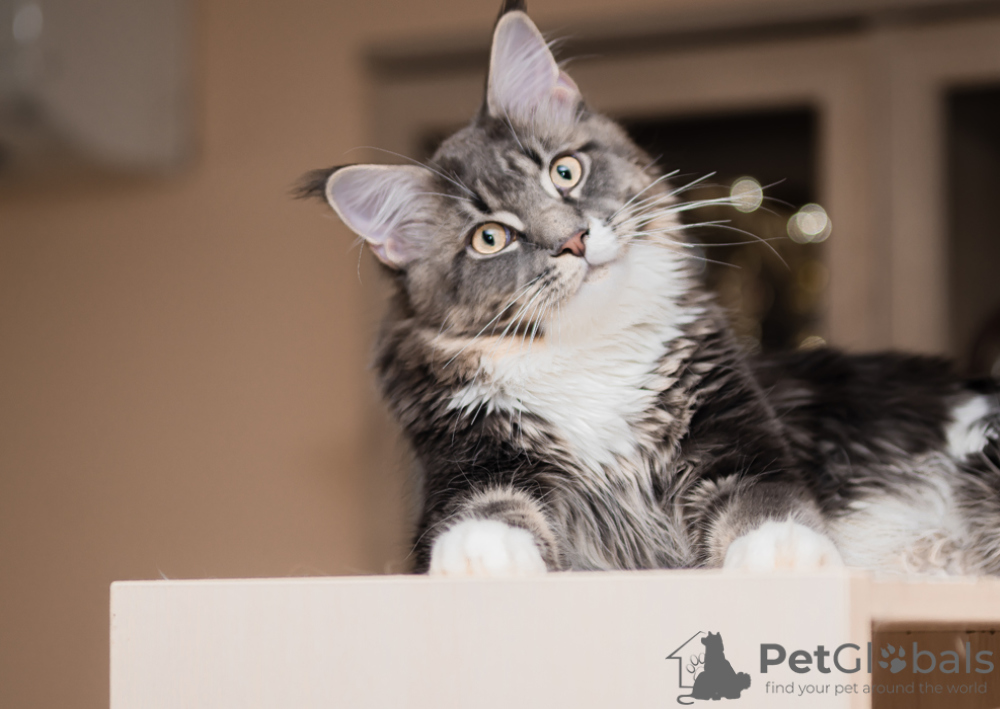 Maine Coon For Sale In The City Of Moskva Russian Federation Price Negotiated Announcement 7565