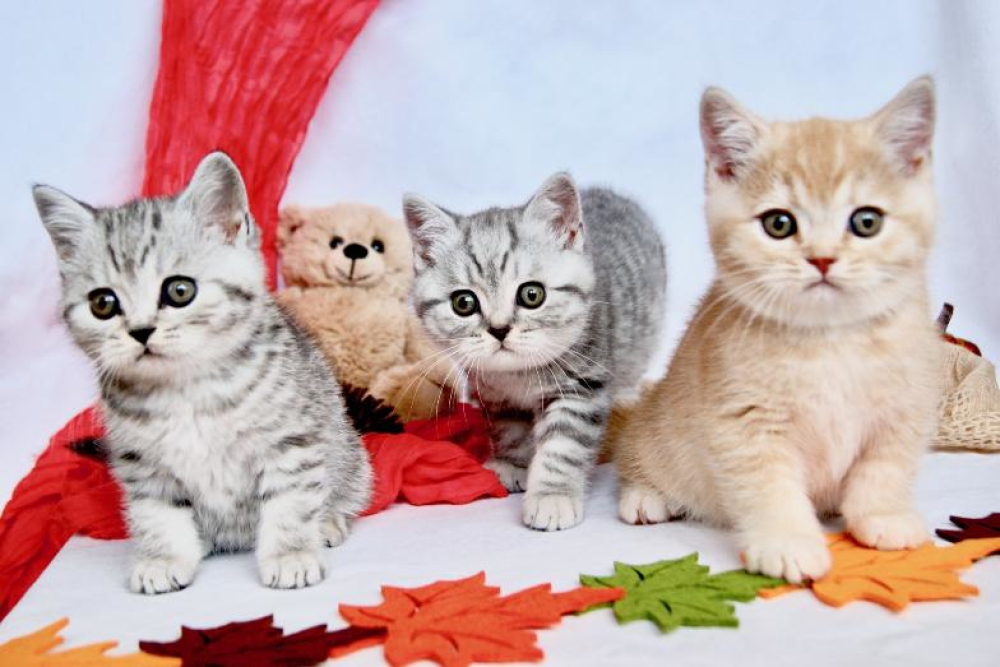 British Shorthair For Sale In The City Of Dusseldorf Germany Price 971 Announcement 726