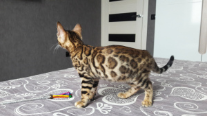 Photo №1. bengal cat - for sale in the city of Gomel | 800$ | Announcement № 1093