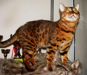 Photo №1. Mating service - breed: bengal cat. Price - 500$