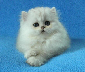 Photo №1. persian cat - for sale in the city of Moscow | 242$ | Announcement № 986