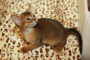 Photo №4. I will sell abyssinian cat in the city of Minsk. from nursery, breeder - price - 500$