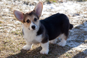Photo №1. welsh corgi - for sale in the city of Almaty | 1000$ | Announcement № 813