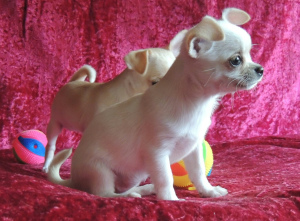 Additional photos: We offer for sale short-haired Chihuahua puppies
