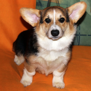 Photo №2 to announcement № 1534 for the sale of welsh corgi - buy in Russian Federation from nursery