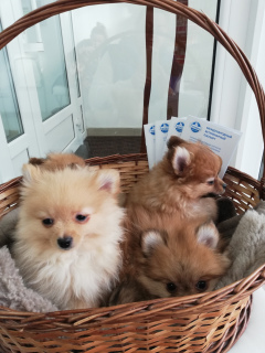 Photo №1. pomeranian - for sale in the city of Minsk | Is free | Announcement № 1187