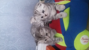 Photo №2 to announcement № 1327 for the sale of scottish straight, scottish fold - buy in Belarus breeder