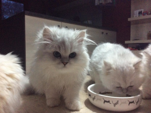Photo №1. persian cat - for sale in the city of Wégifa | 1335$ | Announcement № 882