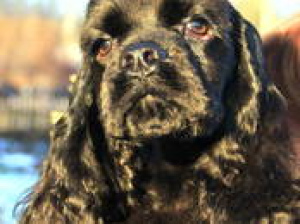 Photo №2 to announcement № 798 for the sale of american cocker spaniel - buy in Belarus private announcement, breeder
