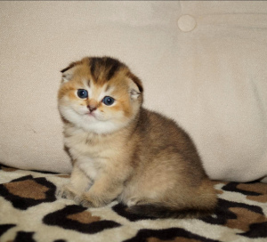 Photo №1. scottish fold - for sale in the city of Minsk | 200$ | Announcement № 1195