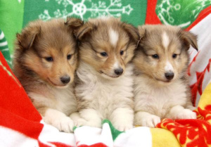Photo №1. shetland sheepdog - for sale in the city of Tyumen | 273$ | Announcement № 985