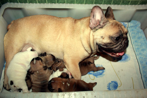 Photo №1. french bulldog - for sale in the city of Minsk | 700$ | Announcement № 335