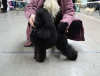 Additional photos: Black toy poodle is looking for a lady to mate