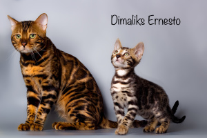 Photo №2 to announcement № 1452 for the sale of bengal cat - buy in Russian Federation from nursery, breeder