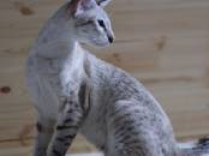 Photo №2 to announcement № 722 for the sale of oriental shorthair - buy in Belarus private announcement, breeder