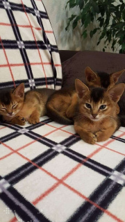 Photo №2 to announcement № 855 for the sale of abyssinian cat - buy in Lithuania private announcement, breeder