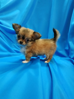 Photo №1. chihuahua - for sale in the city of Minsk | 250$ | Announcement № 834