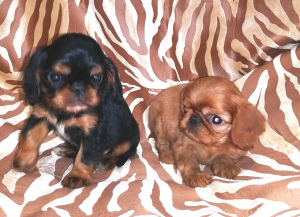 Photo №3. Puppies are offered for sale by King Charles Spaniel (English Toy Spaniel).. Russian Federation
