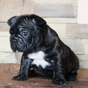 Photo №4. I will sell french bulldog in the city of Voronezh. private announcement - price - 500$