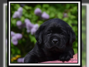 Photo №2 to announcement № 845 for the sale of labrador retriever - buy in Germany private announcement, from nursery, breeder