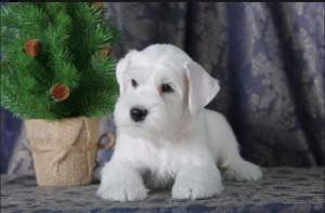 Photo №1. schnauzer - for sale in the city of Novosibirsk | 392$ | Announcement № 1447
