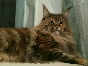 Additional photos: Maine Coon / Kitty