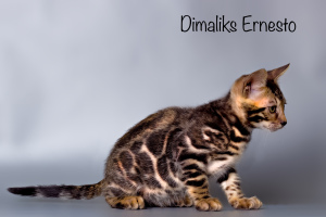 Photo №4. I will sell bengal cat in the city of Kazan. from nursery, breeder - price - 2000$