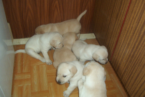 Photo №1. labrador retriever - for sale in the city of Lublin | 553$ | Announcement № 408