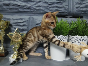 Photo №4. I will sell bengal cat in the city of Minsk. private announcement, from nursery, breeder - price - 700$