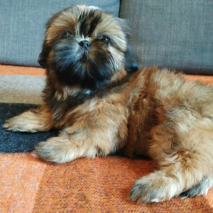 Photo №4. I will sell shih tzu in the city of Москва. private announcement - price - 360$