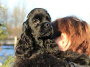 Photo №3. Very cute and interesting puppy American Cocker Spaniel is waiting for his. Belarus