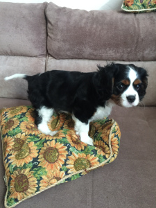 Photo №2 to announcement № 1271 for the sale of cavalier king charles spaniel - buy in Belarus private announcement, breeder
