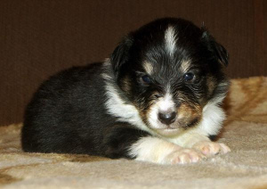 Photo №2 to announcement № 985 for the sale of shetland sheepdog - buy in Russian Federation breeder