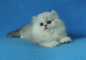 Photo №4. I will sell persian cat in the city of Moscow. breeder - price - 242$