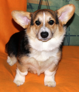 Photo №4. I will sell welsh corgi in the city of Moscow. from nursery - price - 863$