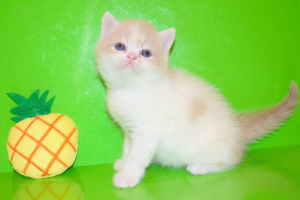 Photo №1. exotic shorthair - for sale in the city of Kharkov | 200$ | Announcement № 1061