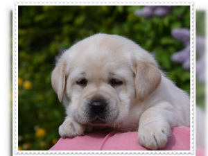 Photo №3. We have beautiful Labrador puppies of best descent in the colors yellow and. Germany