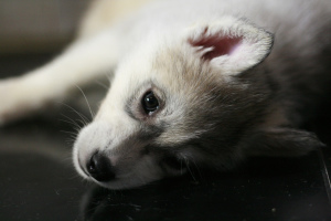 Photo №3. Saint Petersburg. Siberian Husky puppies are offered for sale. Russian Federation