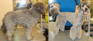 Photo №1. Service of the groomer in the city of Tbilisi. Price - 30$. Announcement № 662