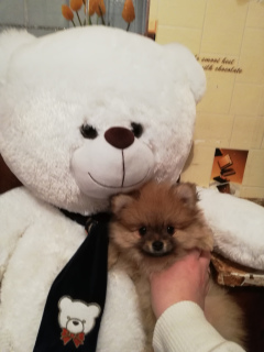 Photo №2 to announcement № 1187 for the sale of pomeranian - buy in Belarus private announcement