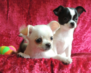 Photo №1. chihuahua - for sale in the city of Yekaterinburg | negotiated | Announcement № 1264
