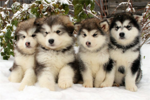 Photo №1. alaskan malamute - for sale in the city of Moscow | 1200$ | Announcement № 768