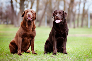 Photo №1. Mating service - breed: labrador retriever. Price - 1000$