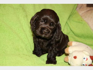 Photo №2 to announcement № 518 for the sale of english cocker spaniel - buy in Switzerland breeder