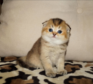 Photo №2 to announcement № 1195 for the sale of scottish fold - buy in Belarus private announcement