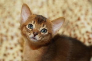 Photo №1. abyssinian cat - for sale in the city of Minsk | 500$ | Announcement № 1364
