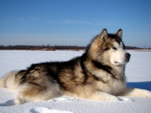 Photo №2 to announcement № 768 for the sale of alaskan malamute - buy in Russian Federation from nursery