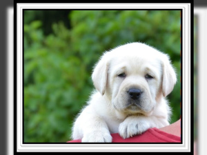 Photo №1. labrador retriever - for sale in the city of Gardelegen | 940$ | Announcement № 845