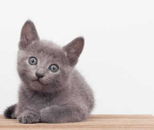 Photo №1. russian blue - for sale in the city of St. Petersburg | 392$ | Announcement № 899